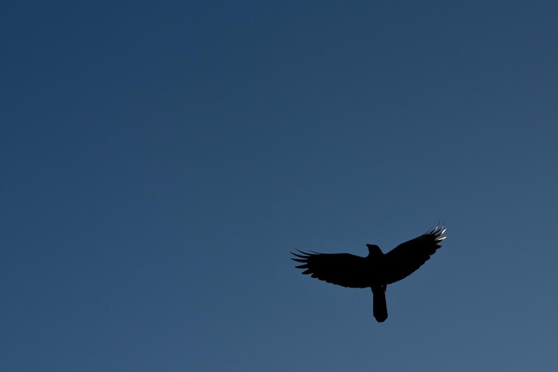 wildlife photography, crows