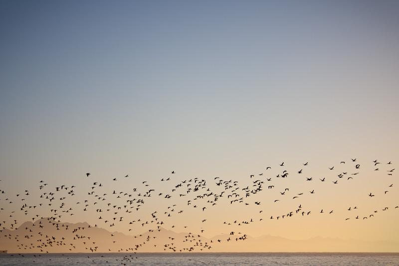 Flock of birds sunrise Mossel Bay