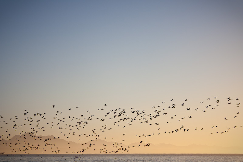 Flock of birds sunrise Mossel Bay