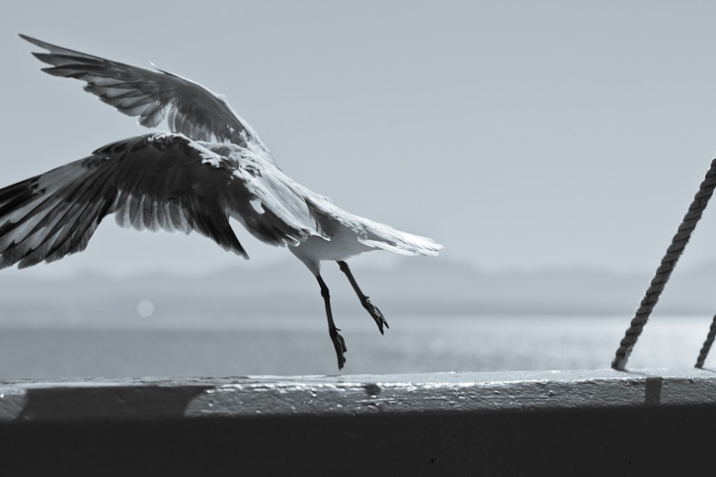 Seagull flying off wall