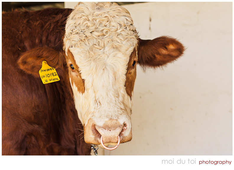 Brown and white bull