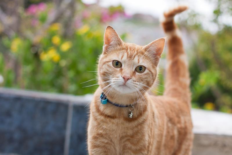 Ginger kitten with bell