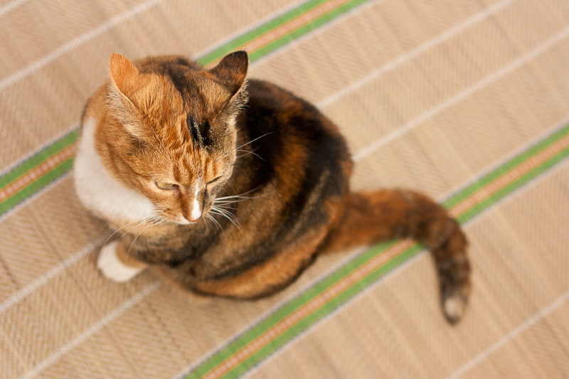 Calico cat, cat on the mat, cat with white bib & paws