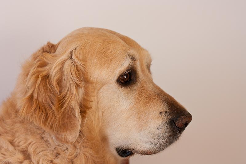 Golden Retriever profile head shot