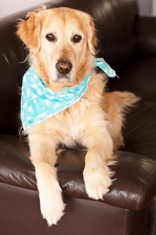 Golden Retriever with bandana