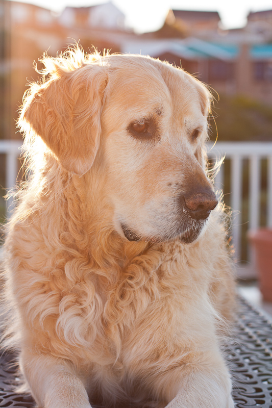 Golden Retriever lying on table sunset