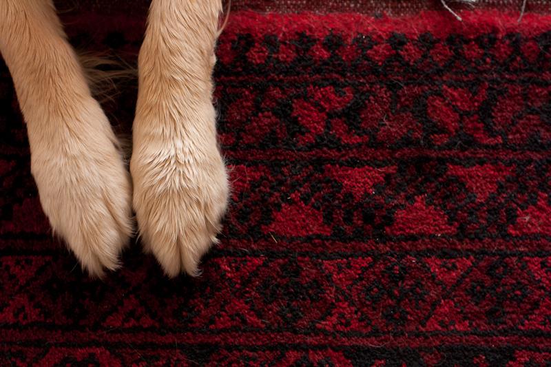 Golden Retriever paws on ruby coloured rug