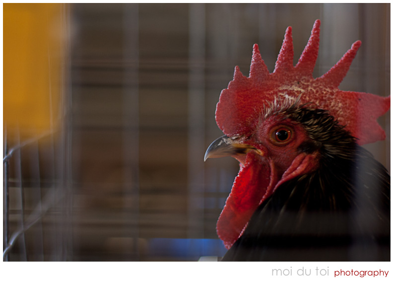 Rooster with red crest