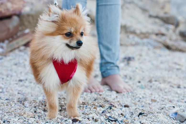 Girl & Toy Pomeranian dog