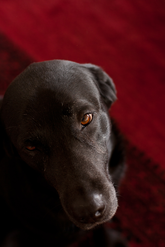 Black labrador head shot