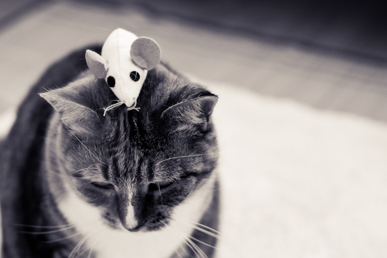 Cat with toy mouse on head black and white