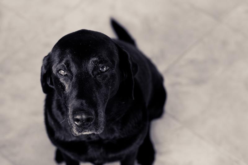 Black labrador black and white