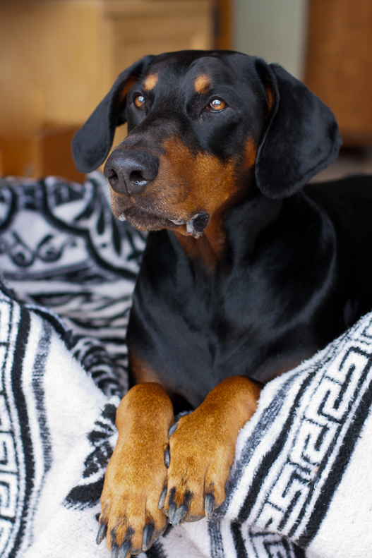 Dobermann in basket