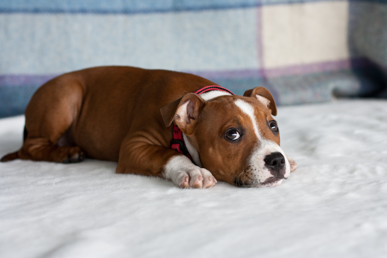 Related Keywords & Suggestions for light brown staffy