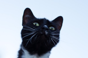 Tuxedo cat with white whiskers