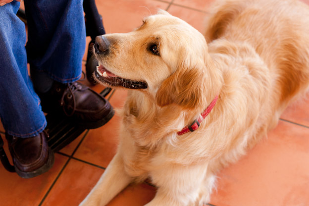 service dog, pet photography, golden retriever and man in wheelchair