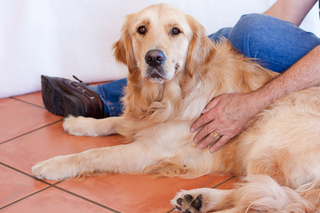 golden retriever service dog and owner south africa
