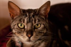 cat photography tabby cat