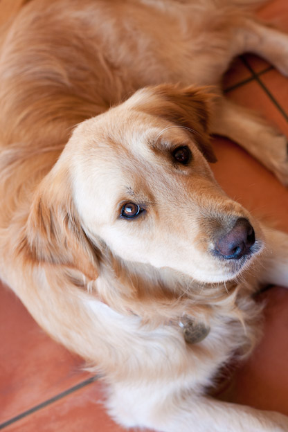 Pet photography golden retriever south africa