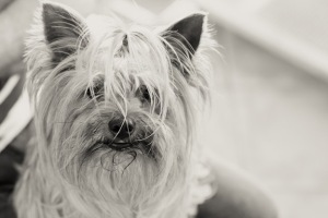 Pet photography Yorkie South Africa