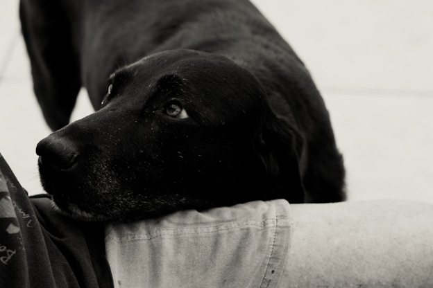 Labrador with head on owners lap, natural light, pet photography poses