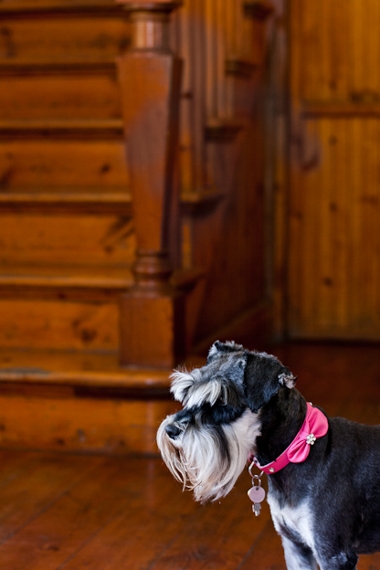 Schnauzers with pink collar, Pet photography, dogs