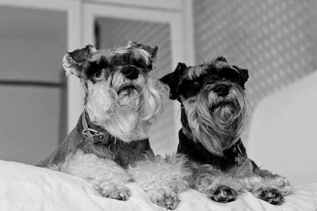Schnauzers , pet photography, dogs