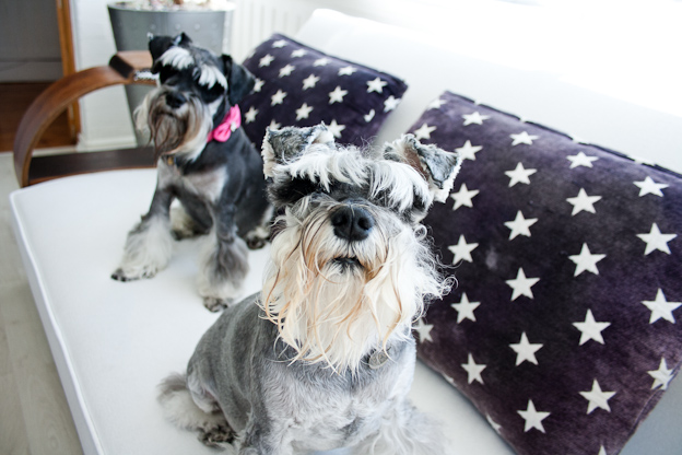 Female Schnauzers, pet photography, dog