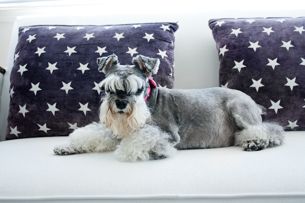 Female Schnauzer, pet photography, dog