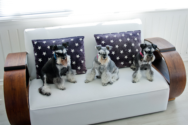 Three Schnauzers sitting on a couch, pet photography, dogs