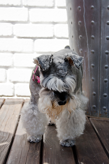 Schnauzer, pet photography, dogs