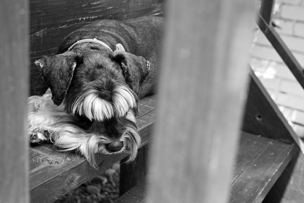 Female Schnauzer, pet photography, dog