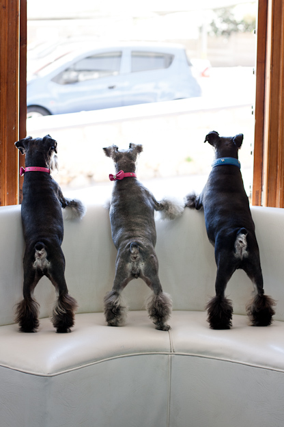 Three Schnauzers, dogs,  pet photography