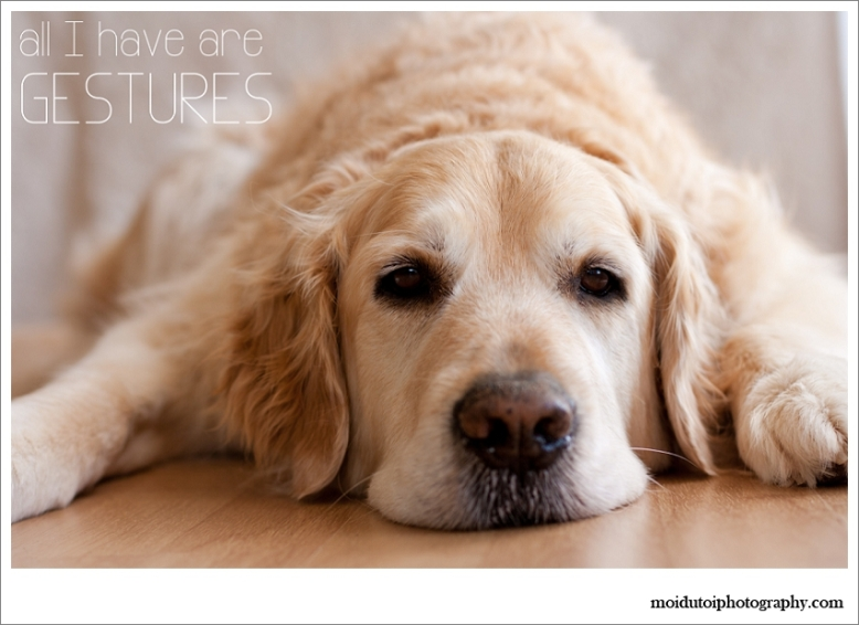 Golden retriever, pet photography western Cape