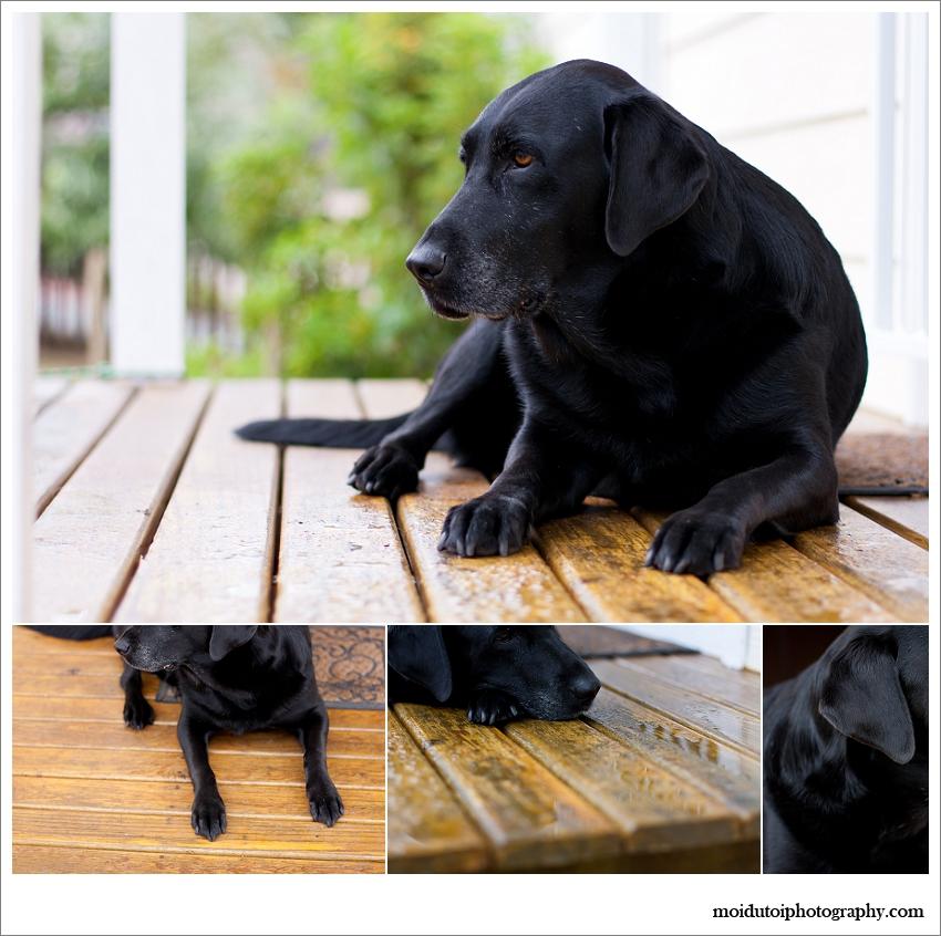 Portrait of black dog, pet photography, pet photographer Cape