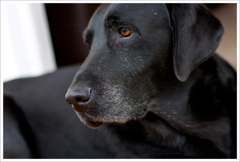 Pet photography tips, black labrador, natural light