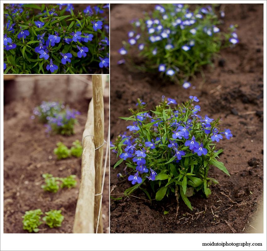 lobelia in natural light, blue lobelia