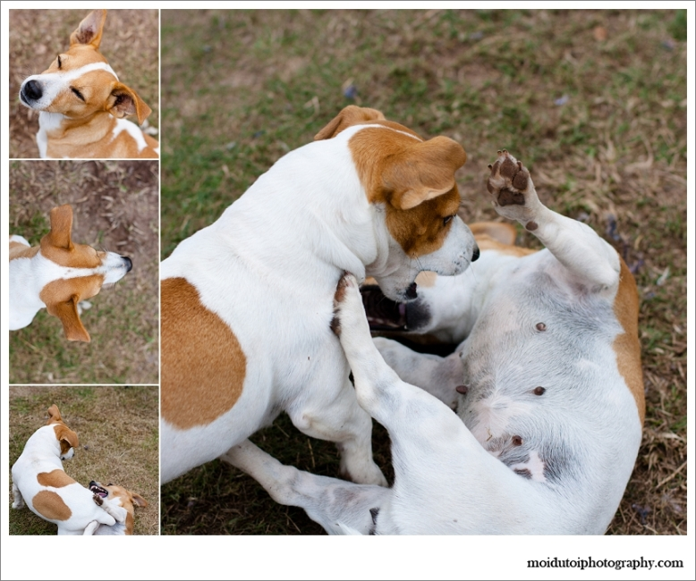 Jack Russell's mock fighting, Pet photography Western Cape, Jack Russell natural light portraits,moi du toi pet photography