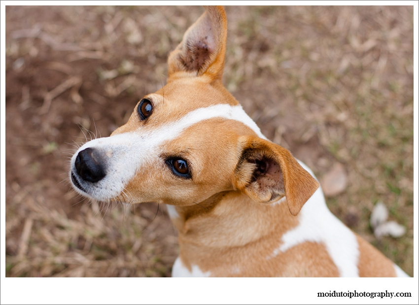 Jack Russell, Pet photography Western Cape, Jack Russell natural light portraits, moi du toi pet photography