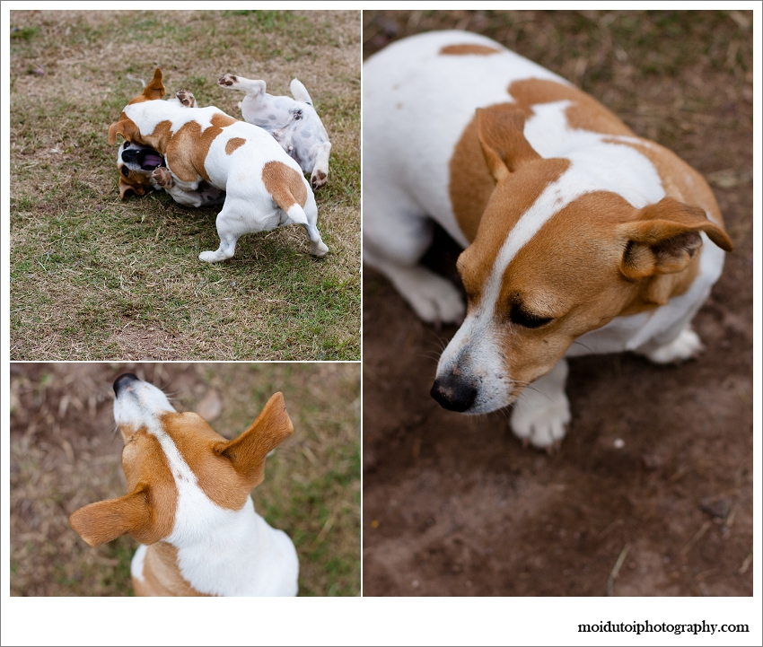 Jack Russell's mock fighting, Pet photography Western Cape, Jack Russell natural light portraits, moi du toi pet photography