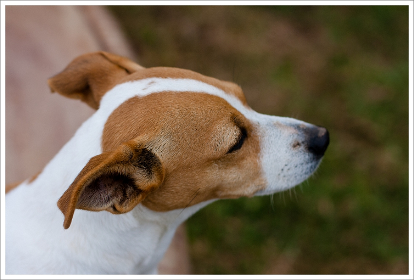 Jack Russell, Pet photography Western Cape, Jack Russell natural light portraits