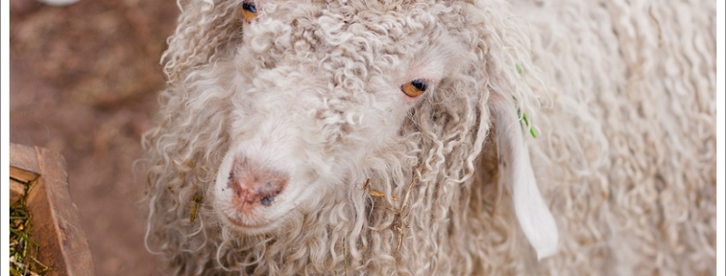Angora goat, natural light photography, animal photography