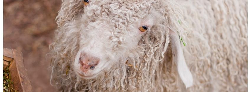 Angora goat, natural light photography, animal photography