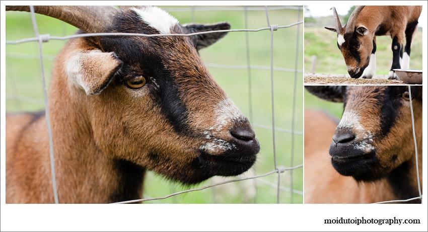 Timberlake village, brown goat