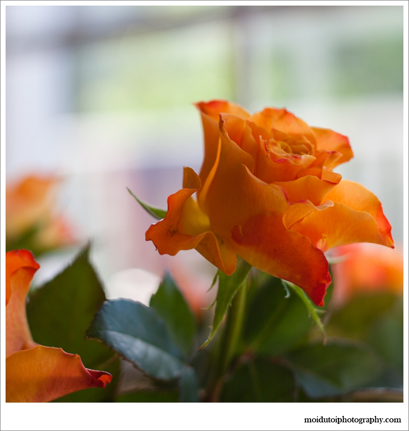 natural light photography, orange roses