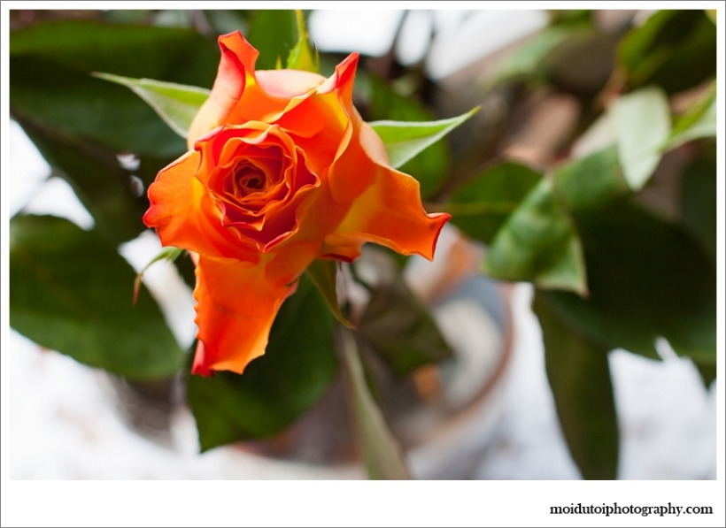 Orange roses window light