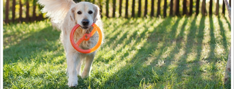 Golden retriever dog playing