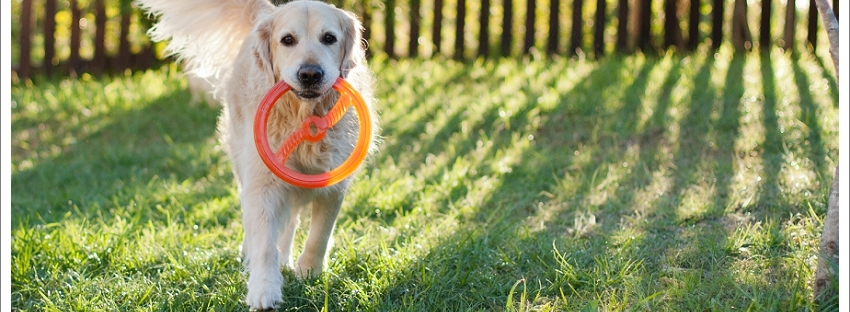 Golden retriever dog playing
