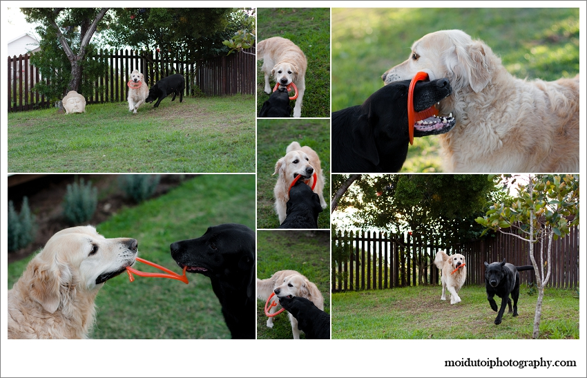 pet photography, dogs playing