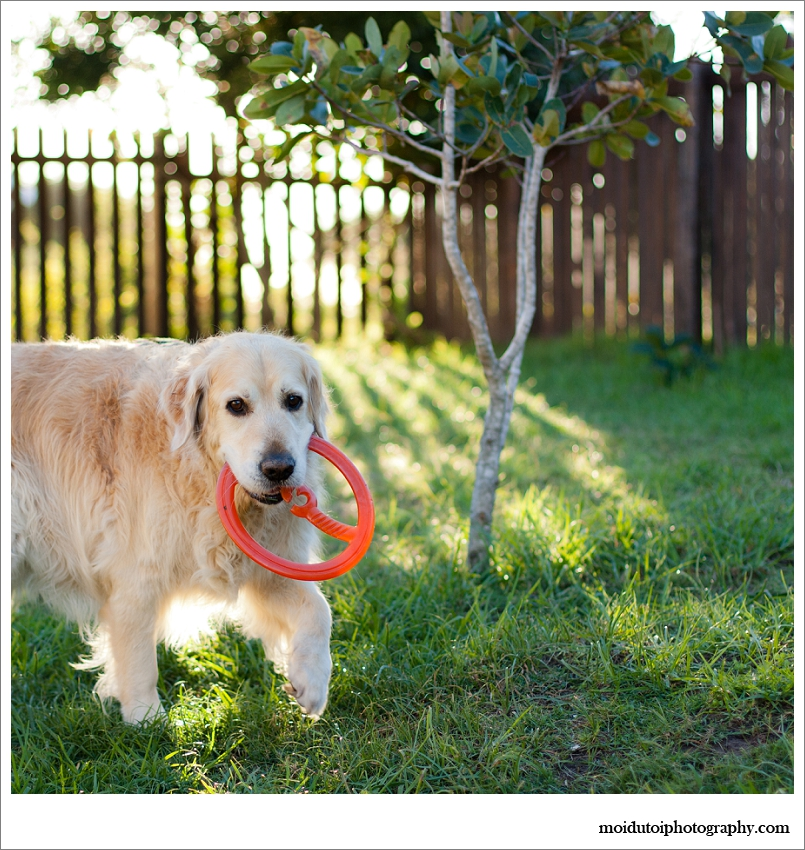 Backlit image of golden retriever playing fetch